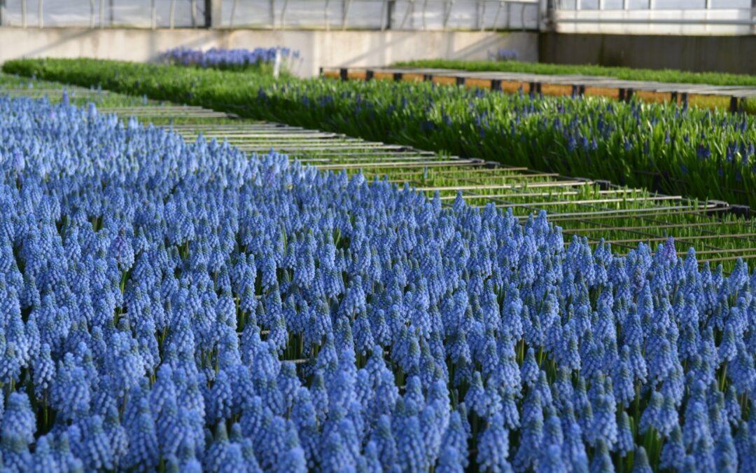Met blauwe druifjes haal je de lente in huis!