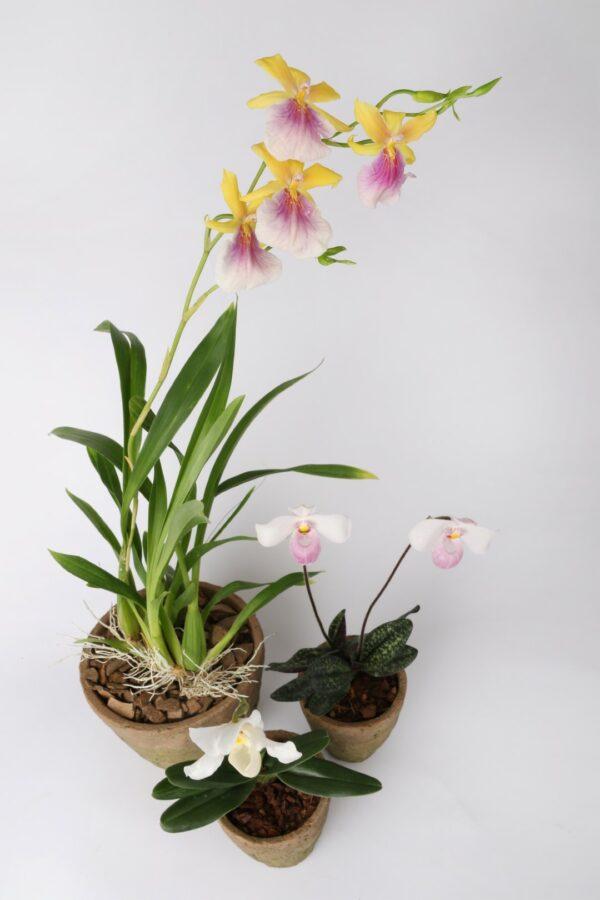 """Plante """"Spéciale Orchidée '' 2"""